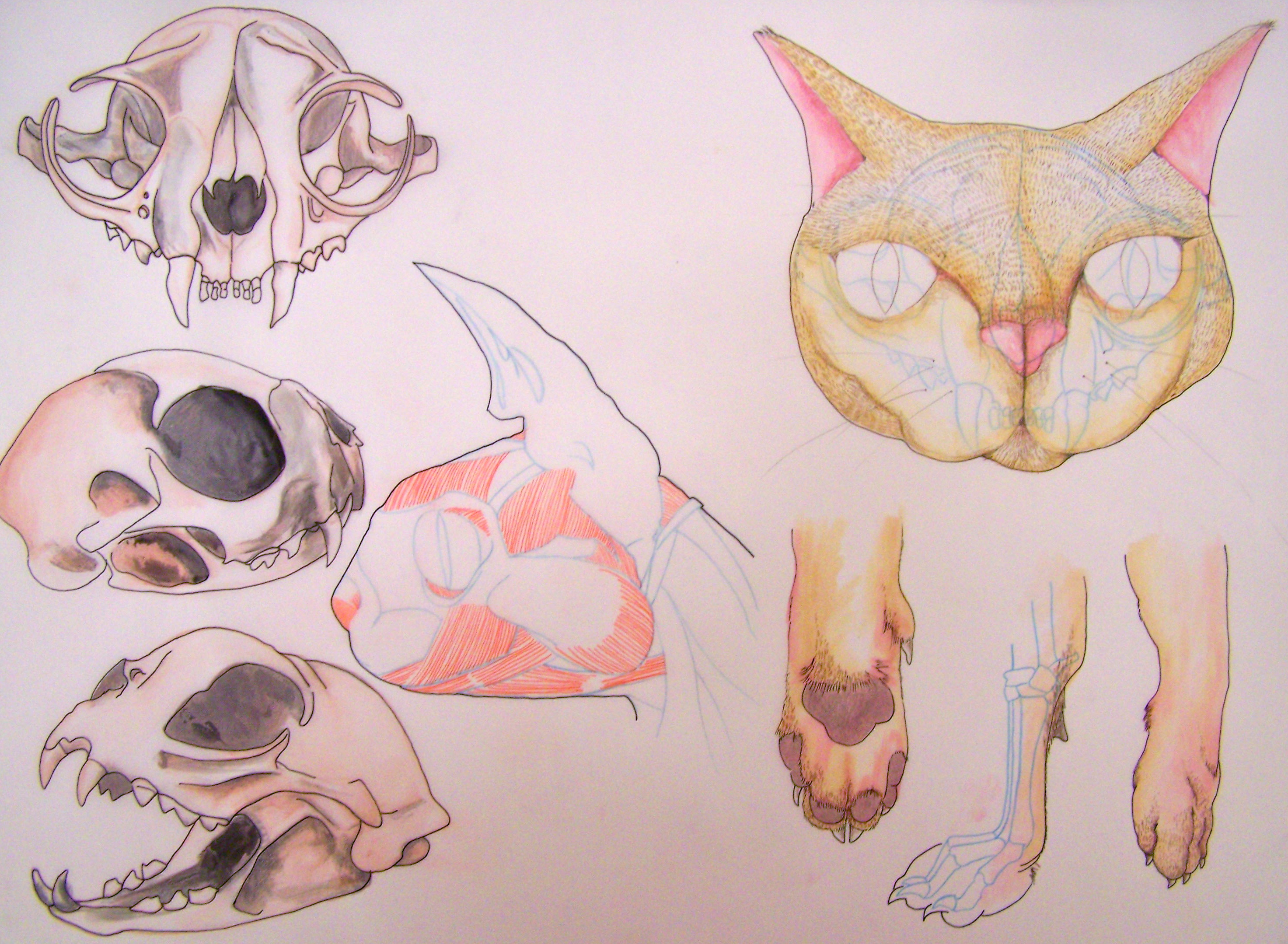 Mid Term Drawing Examples For My Comparative Anatomy Class Curious
